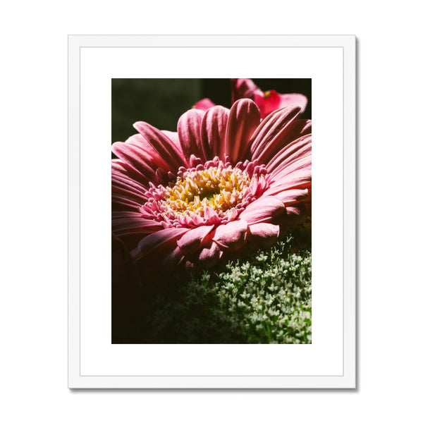 'Pink African Daisy (no.034)' 2016 Framed & Mounted Print