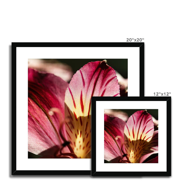 'Pink Peruvian Lily (no.029)' 2016 Framed & Mounted Print