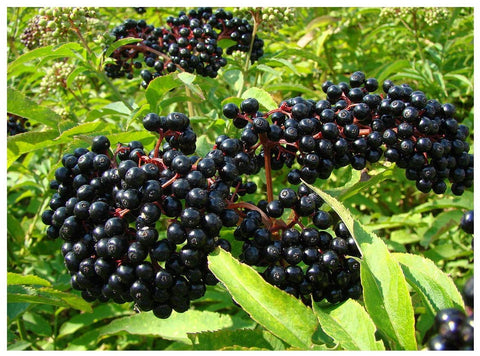 Ranch Elderberry Bush
