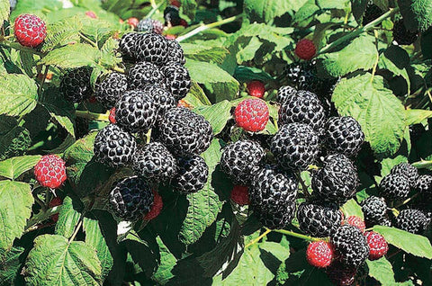 Wyoming Black Raspberries