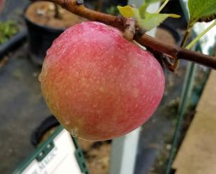 Apple Tree - Dwarf - Prairie Magic