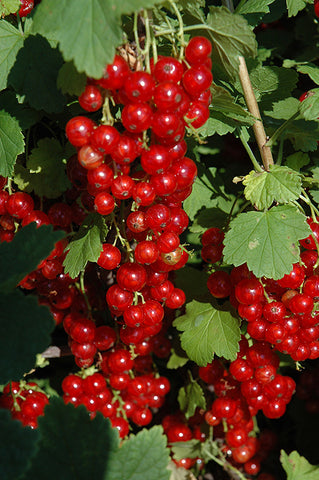 Red Lake, Red Currant Bush