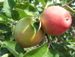 Gemini Apple Tree- Standard