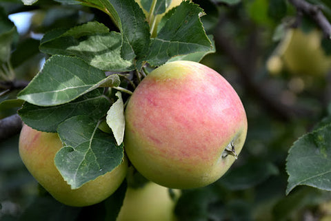 Apple Tree - Standard - Goodland