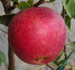 Apple Tree - Standard - Red Sparkle
