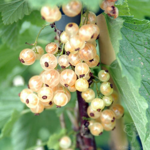 White Pearl, White Currant Bush