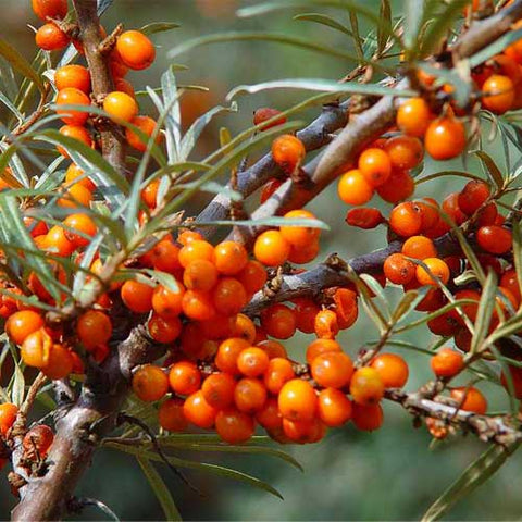 Sea Buckthorn Shrub - Female