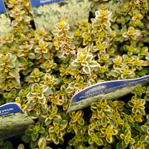 Thymus × citriodorus 'Gold Edge' - Golden Lemon Thyme