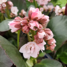 Load image into Gallery viewer, Bergenia 'Dragonfly™ Sakura' -  Dragonfly™ Sakura Bergenia