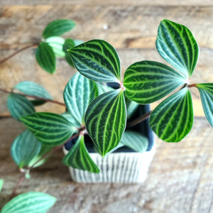 Stepladder Peperomia & Check Pot