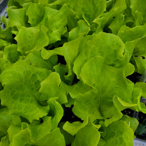 Lettuce - Leaf - Simpson Black Seeded
