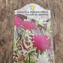Load image into Gallery viewer, Knautia macedonica ' Thunder & Lightning' - Thunder & Lightning Knautia