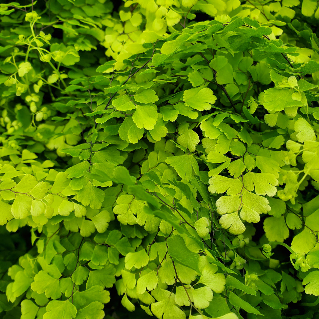 Fern - Maidenhair