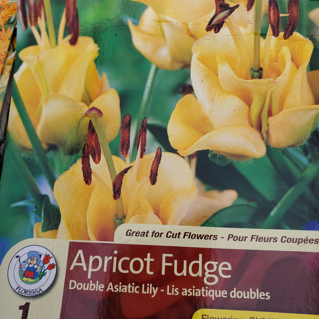Lily - Double Asiatic - Apricot Fudge