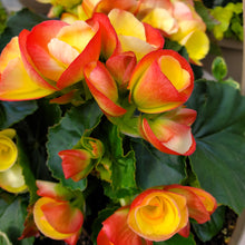 Load image into Gallery viewer, Begonia Hanging Basket