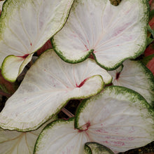 Load image into Gallery viewer, Caladium - Fancy & Strap Leaf