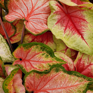 Caladium - Fancy & Strap Leaf
