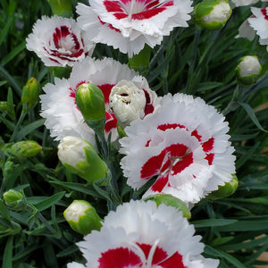 Dianthus Scent First® Coconut Surprise