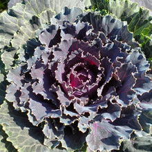 Load image into Gallery viewer, Ornamental Kale & Cabbage