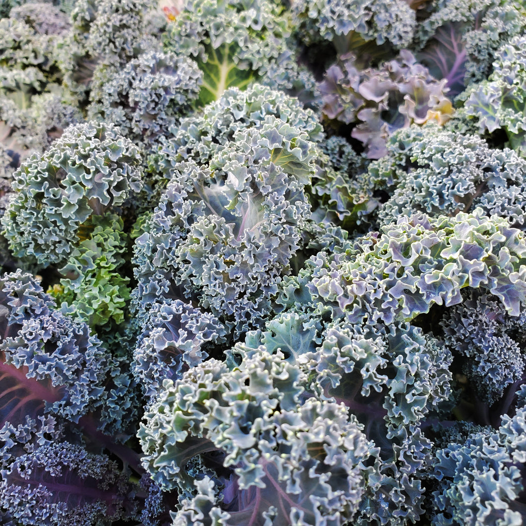 Ornamental Kale & Cabbage