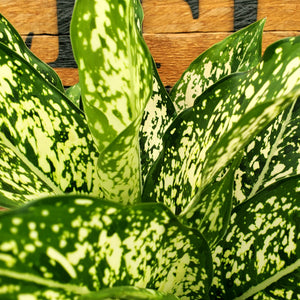 Aglaonema 'Spring Snow' - Spring Snow Chinese Evergreen