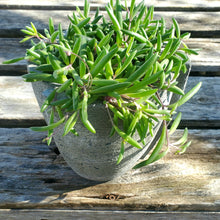 Load image into Gallery viewer, Senecio 'Purple Flash' - Purple Flash Necklace Plant