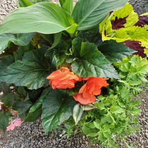 Begonia, Tuberous + Canna Lily - Mixed Planter