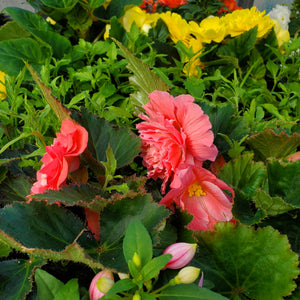 Begonia, Tuberous + Fuchsia - Mix Window Box