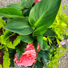 Load image into Gallery viewer, Begonia, Tuberous + Canna Lily - Mixed Planter