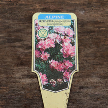 Load image into Gallery viewer, Armeria juniperifolia - Spanish Thirft