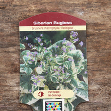 Load image into Gallery viewer, Brunnera macrophylla 'Variegata' - Variegated Siberian Bugloss