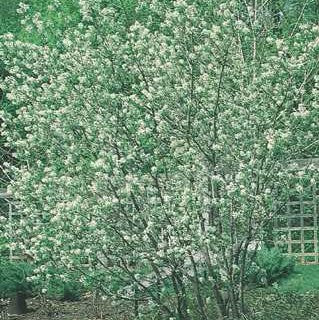 Amelanchier canadensis - Downy Serviceberry