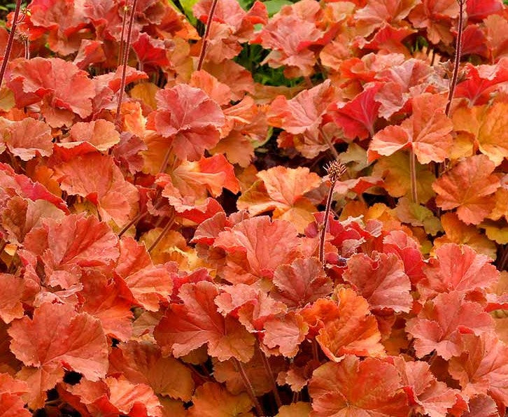 Heuchera NORTHERN EXPOSURE™ 'Amber' - NORTHERN EXPOSURE™ Amber Coral Bells