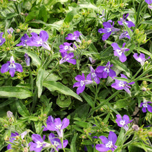 Load image into Gallery viewer, Trailing - Lobelia