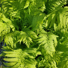 Load image into Gallery viewer, Matteuccia struthiopteris - Ostrich Fern
