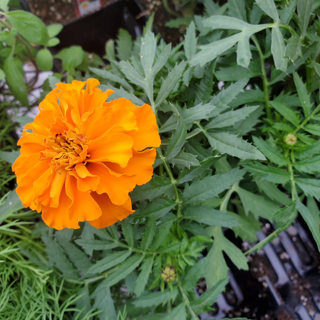 Flower - Marigold, French - Certified Organic