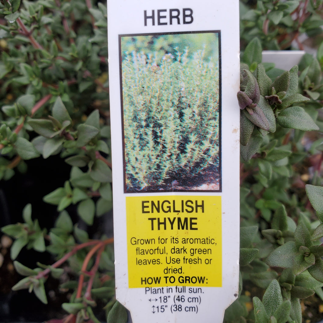 Thyme - English - Certified Organic