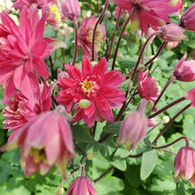 Load image into Gallery viewer, Aquilegia 'Clementine Red' - Red Clematis-Flowered Columbine