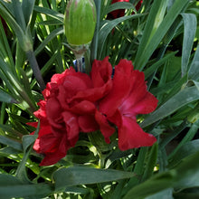 Load image into Gallery viewer, Dianthus Scent First® Passion