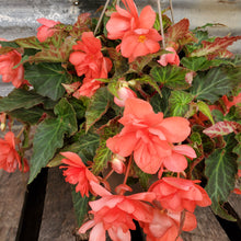 Load image into Gallery viewer, I'Conia Begonia Hanging Basket