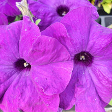 Load image into Gallery viewer, Petunia, Ultra