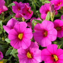 Load image into Gallery viewer, Calibrachoa - Million Bells