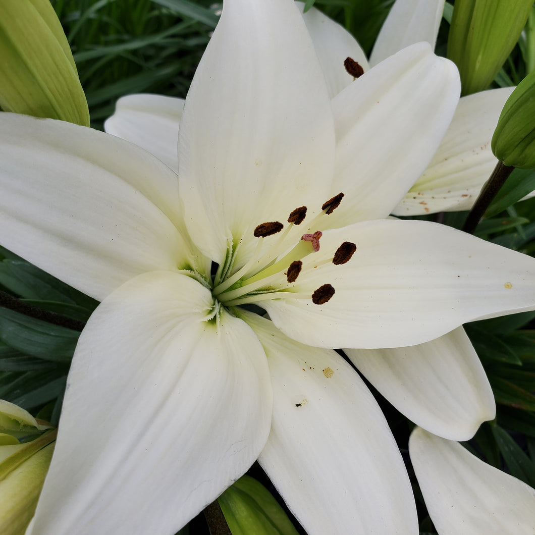 Lilium 'Tiny Crystal' - Dwarf Asiatic Lily