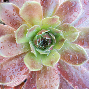 Sempervivum Chick Charms 'Berry Bomb'