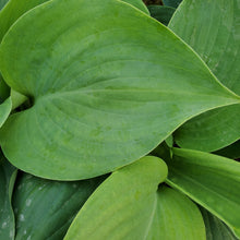 Load image into Gallery viewer, Hosta 'Empress Wu'
