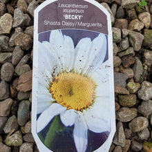 Load image into Gallery viewer, Leucanthemum 'Becky' - Becky Shasta Daisy