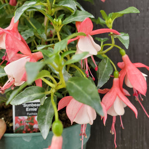 Sunbeam Fuchsia