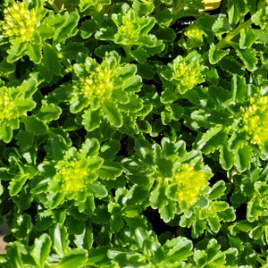 Sedum 'Little Miss Sunshine' - Little Miss Sunshine Stonecrop