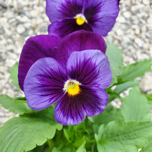 Load image into Gallery viewer, Fall Pansy