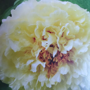 Paeonia suffruticosa - Yellow Japanese Tree Peony